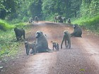 Baboons block the road.
